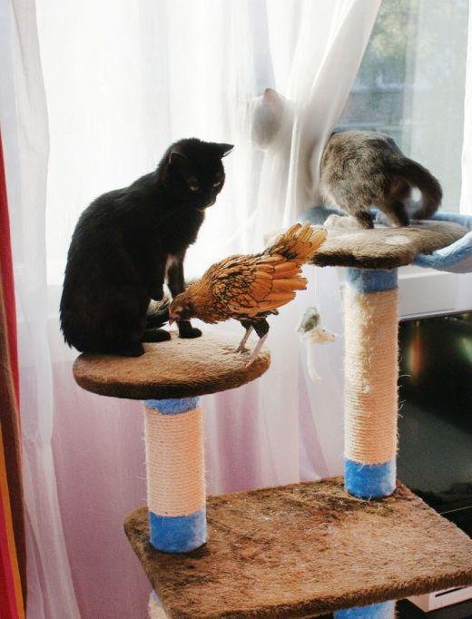 cuicui-notre-petite-poule-naine-en-appartement-avec-chat1