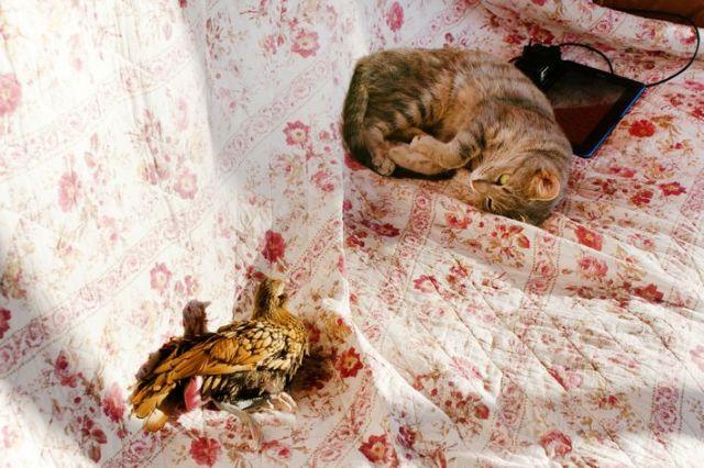 poule-cuicui-dort-avec-chat-titi-canape