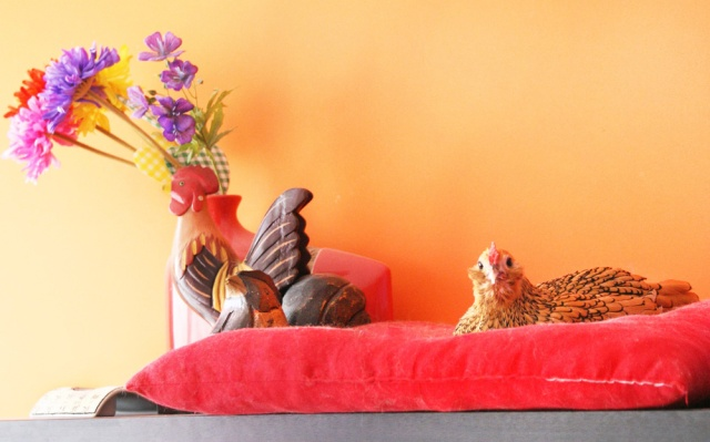cuicui-poule-naine-sebright-appartement-domestique-pet-chicken-france